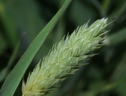 phalaris-brachystachys-3